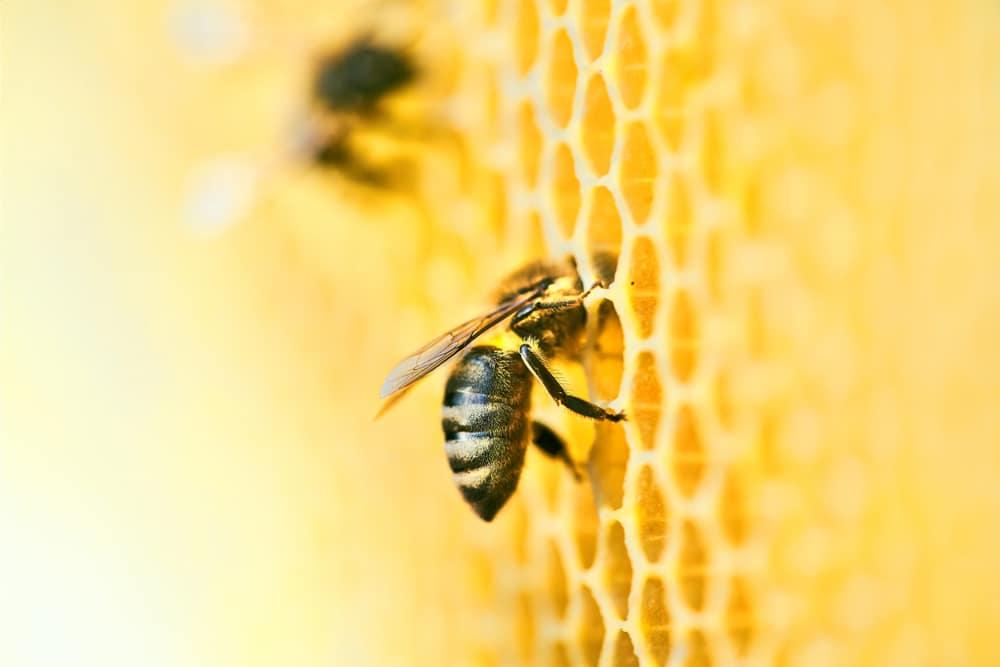 Mehiläiset työskentelemässä